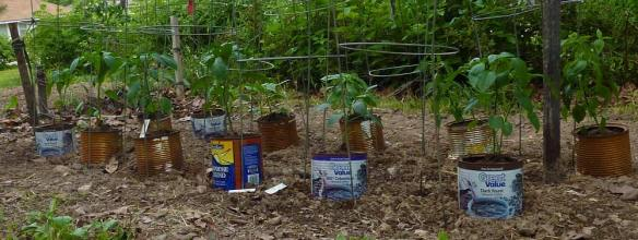 Peppers planted in Coffee Cans